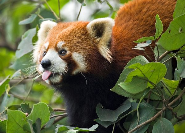 top-ten-most-threatened-forests-southwest-china-mountains-red-panda_32118_600x450
