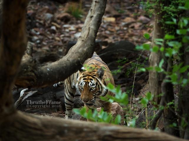 T19 tiger 01